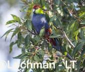 Purpureicephalus spurius - Red-capped Parrot  LLS-882 ©Jiri Lochman LT