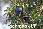 Purpureicephalus spurius - Red-capped Parrot  LLS-883 ©Jiri Lochman LT