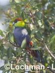 Purpureicephalus spurius - Red-capped Parrot  LLS-884 ©Jiri Lochman LT