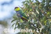 Purpureicephalus spurius - Red-capped Parrot  LLS-885 ©Jiri Lochman LT
