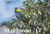 Purpureicephalus spurius - Red-capped Parrot  LLS-886 ©Jiri Lochman LT
