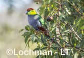 Purpureicephalus spurius - Red-capped Parrot  LLS-887 ©Jiri Lochman LT
