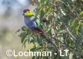 Purpureicephalus spurius - Red-capped Parrot  LLS-888 ©Jiri Lochman LT