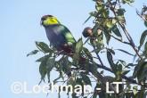 Purpureicephalus spurius - Red-capped Parrot  LLS-889 ©Jiri Lochman LT