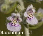 Quoya paniculata LLR-494 ©Jiri Lochman - Lochman LT