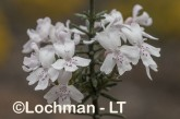 Westringia dampieri AGD-464 ©Marie Lochman - Lochman LT