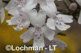 Westringia dampieri AGD-465 ©Marie Lochman - Lochman LT