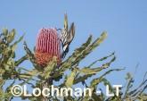 White-cheeked Honeyeater LLS-896 ©Jiri Lochman - Lochman LT