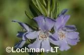 Lamiaceae Westringia fruticosa LLJ-953 © Jiri Lochman LT