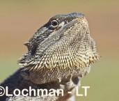 Pogona vitticeps - Central Bearded Dragon LLT-061 ©Jiri Lochman - Lochman LT