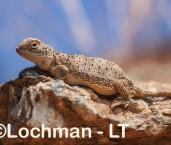 Tympanocryptis centralis - Centralian Earless Dragon LLT-063 ©Jiri Lochman - Lochman LT