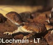 Tympanocryptis cephalus - Pebble Dragon AWY-141 ©Marie Lochman - Lochman LT