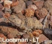 Tympanocryptis intima - Smooth-snouted Earless Dragon AHD-874 ©Marie Lochman - Lochman LT