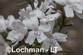 Westringia dampieri AGD-466 ©Marie Lochman - Lochman LT