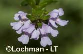 Westringia glabra LLJ-949 © Jiri Lochman LT
