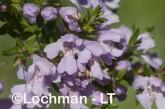 Westringia glabra LLJ-951 © Jiri Lochman LT