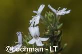 Westringia rigida AGD-793 ©Marie Lochman - Lochman LT
