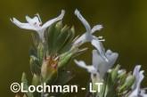 Westringia rigida AGD-795 ©Marie Lochman - Lochman LT