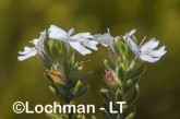 Westringia rigida AGD-796 ©Marie Lochman - Lochman LT