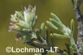 Westringia rigida AGD-797 ©Marie Lochman - Lochman LT