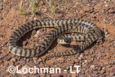 Aspidites melanocephalus - Black-headed Python AHD-895 ©Marie Lochman - Lochman LT