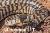 Aspidites melanocephalus - Black-headed Python AHD-896 ©Marie Lochman - Lochman LT