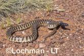 Aspidites melanocephalus - Black-headed Python AHD-897 ©Marie Lochman - Lochman LT