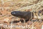 Aspidites melanocephalus - Black-headed Python LLT-130 ©Jiri Lochman - Lochman LT