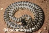 Aspidites melanocephalus - Black-headed Python MMY-889 ©Marie Lochman - Lochman LT