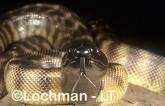 Aspidites melanocephalus - Black-headed Python ZLY-469 ©Jiri Lochman - Lochman LT