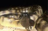 Aspidites melanocephalus - Black-headed Python ZLY-475 ©Jiri Lochman - Lochman LT