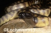 Aspidites melanocephalus - Black-headed Python ZLY-485 ©Jiri Lochman - Lochman LT