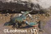 Cherax quadricarinatus - Redclaw AHD-900 ©Marie Lochman - Lochman LT