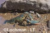 Cherax quadricarinatus - Redclaw AHD-901 ©Marie Lochman - Lochman LT