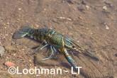 Cherax quadricarinatus - Redclaw AHD-902 ©Marie Lochman - Lochman LT