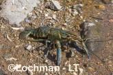 Cherax quadricarinatus - Redclaw AHD-903 ©Marie Lochman - Lochman LT