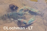 Cherax quadricarinatus - Redclaw AHD-904 ©Marie Lochman - Lochman LT