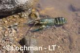 Cherax quadricarinatus - Redclaw LLT-132 ©Jiri Lochman - Lochman LT