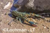 Cherax quadricarinatus - Redclaw LLT-133 ©Jiri Lochman - Lochman LT
