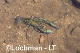 Cherax quadricarinatus - Redclaw LLT-134 ©Jiri Lochman - Lochman LT