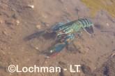 Cherax quadricarinatus - Redclaw LLT-135 ©Jiri Lochman - Lochman LT