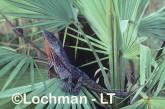 Chlamydosaurus kingii - Frill-necked Lizard AAY-885 ©Marie Lochman - Lochman LT