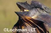 Chlamydosaurus kingii - Frill-necked Lizard ACY-703 ©Marie Lochman - Lochman LT