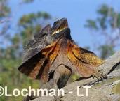 Chlamydosaurus kingii - Frill-necked Lizard ACY-704 ©Marie Lochman - Lochman LT