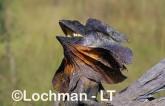 Chlamydosaurus kingii - Frill-necked Lizard ACY-713 ©Marie Lochman - Lochman LT