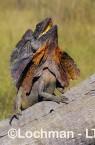 Chlamydosaurus kingii - Frill-necked Lizard ACY-719 ©Marie Lochman - Lochman LT