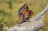 Chlamydosaurus kingii - Frill-necked Lizard ACY-732 ©Marie Lochman - Lochman LT