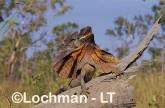 Chlamydosaurus kingii - Frill-necked Lizard ACY-740 ©Marie Lochman - Lochman LT
