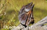 Chlamydosaurus kingii - Frill-necked Lizard ACY-756 ©Marie Lochman - Lochman LT