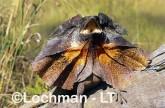 Chlamydosaurus kingii - Frill-necked Lizard ACY-767 ©Marie Lochman - Lochman LT